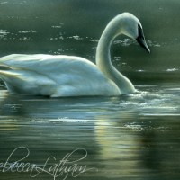 Ethereal Light - Trumpeter Swan