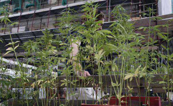 cannabis-canapa-indiana-coltivazione
