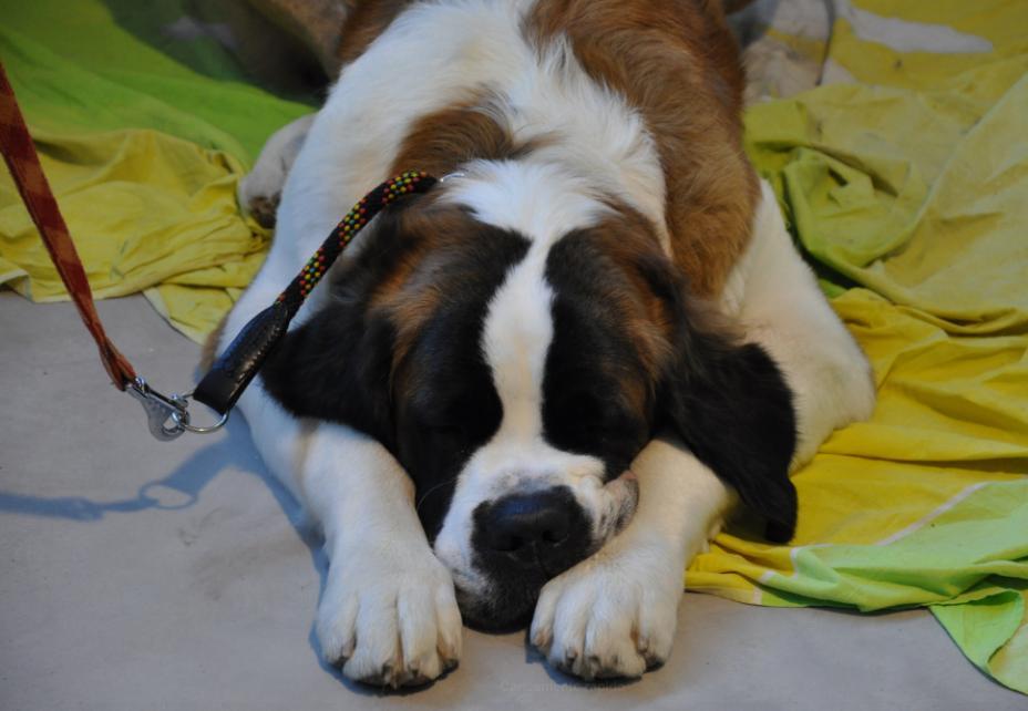 concorso-bellezza-cani-latina-12
