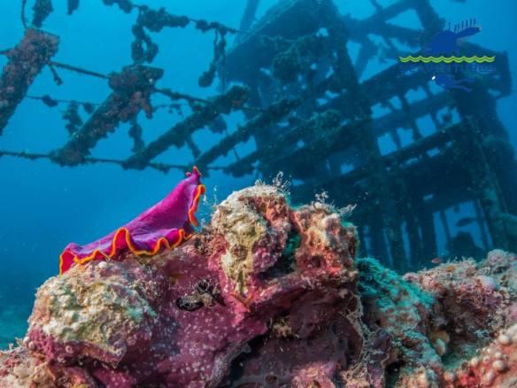 fat nudibranch, Seaventures house reef