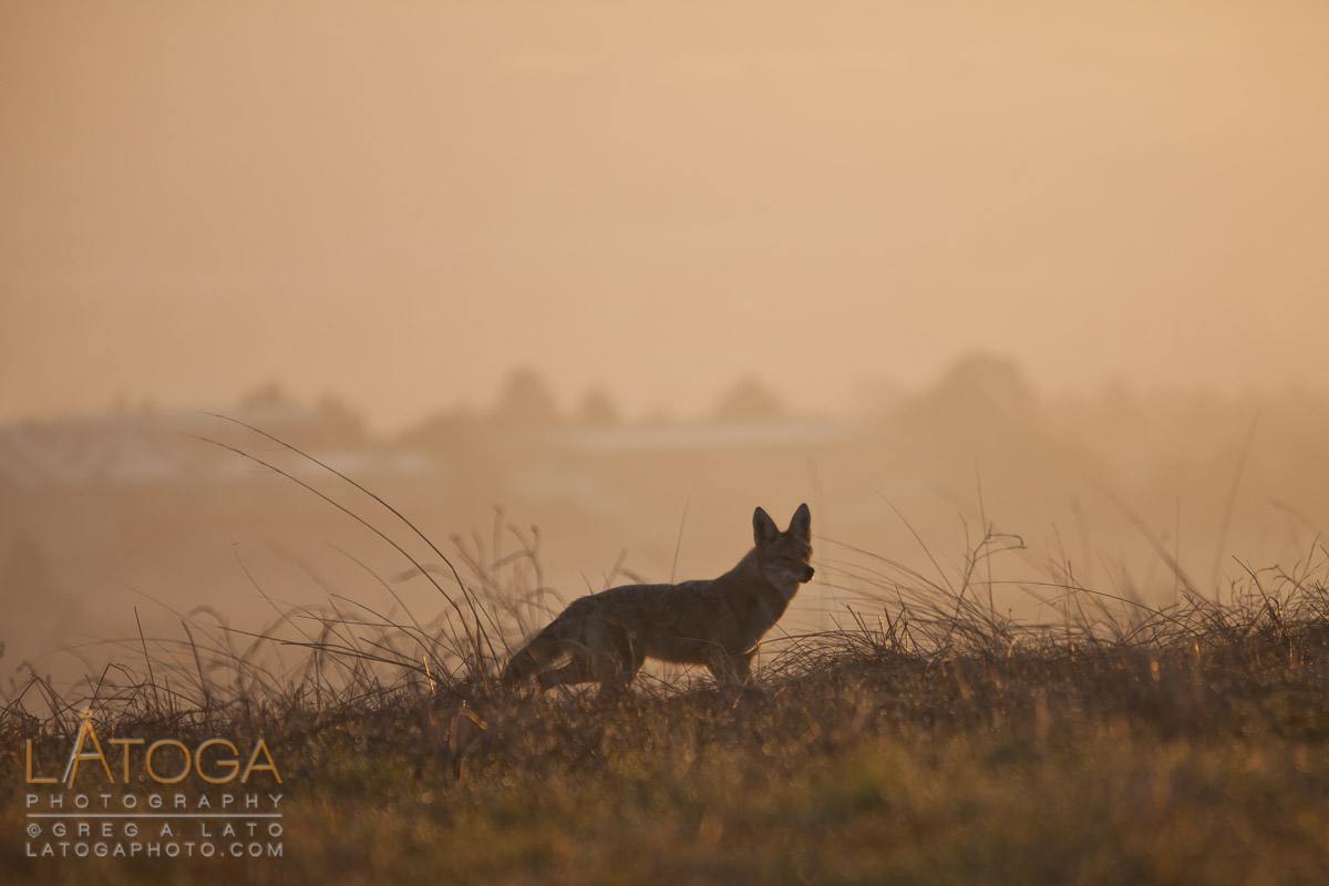Coyote (Canis latrans) silhouetted in haze of sunrise stands atop a ridge line in the Dublin Hills East Bay Regional Park near Dublin, California