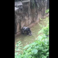 Nuevo video de gorila revela que tomó la mano del niño antes de ser asesinado