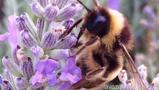 portada-abeja