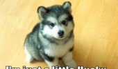 A cute husky puppy. I'm not fat. I'm just a little husky.