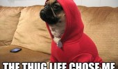 i-didnt-choose-the-thug-life-the-thug-life-chose-me-pug-dog-red-sweater-meme