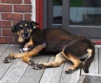 brown-dog-400x329
