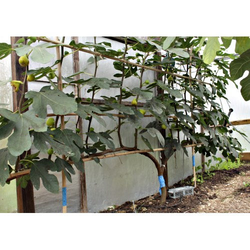 Medium Crop Of How To Prune A Fig Tree