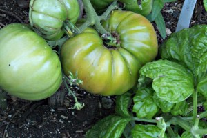 Tomatoes, not yet ripe