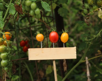 Tomatoes-Honey Drop, Honey Bunch, Solid Gold