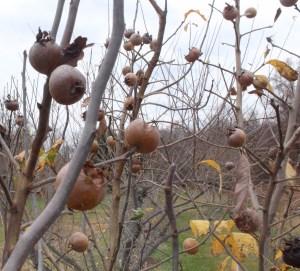 Medlars, ready for harvest