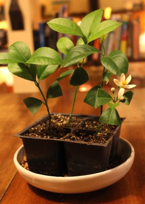Meyer lemon, rooted and flowering already
