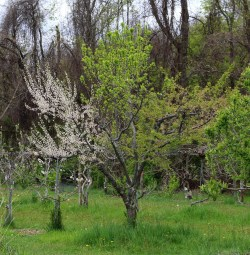 Plum, blossoming branch
