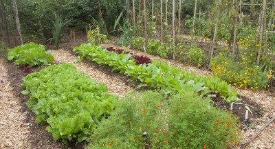 Endive, lettuce, and old tomato plants
