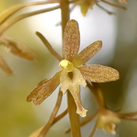 The Search for the Cranefly Orchid
