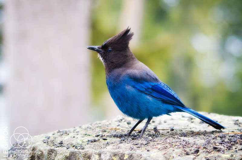 How Blue Can You Get? Steller's Jay!