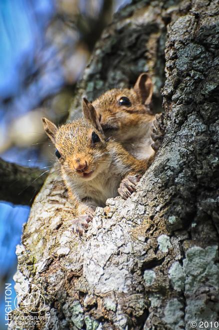 JuvenileEasternGraySquirrel100-2