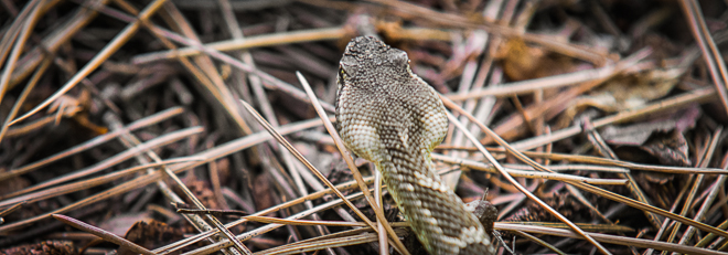 Strike a Pose! It's a Northern Pacific Rattlesnake!!!