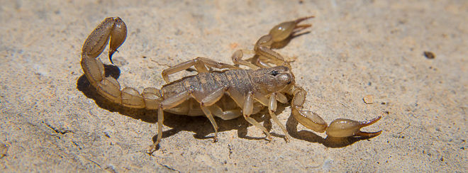 Lesser Stripetail Scorpion