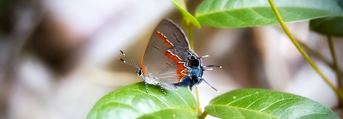 Most Beautiful of all American Butterflies: Gossamer-wings! (25 Photos)