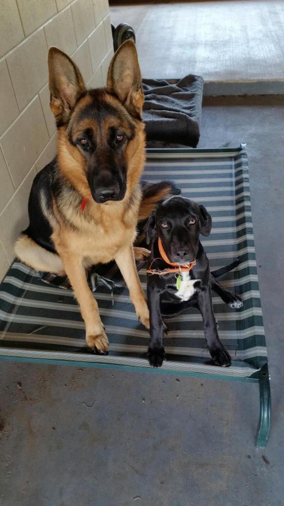 German-Shepherd-Female-Storm-with-her-best-friend