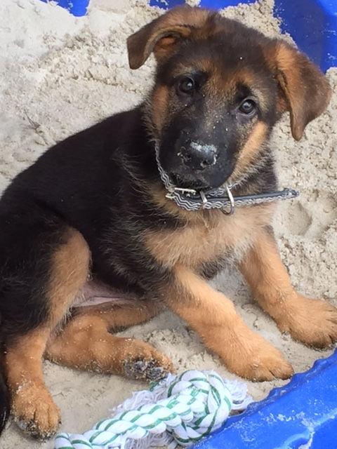 german-shepherd-puppy-in-sand-pit