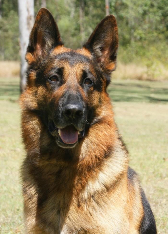 german-shepherd-stud-dog-leishjaclyn-wave-dancer-2