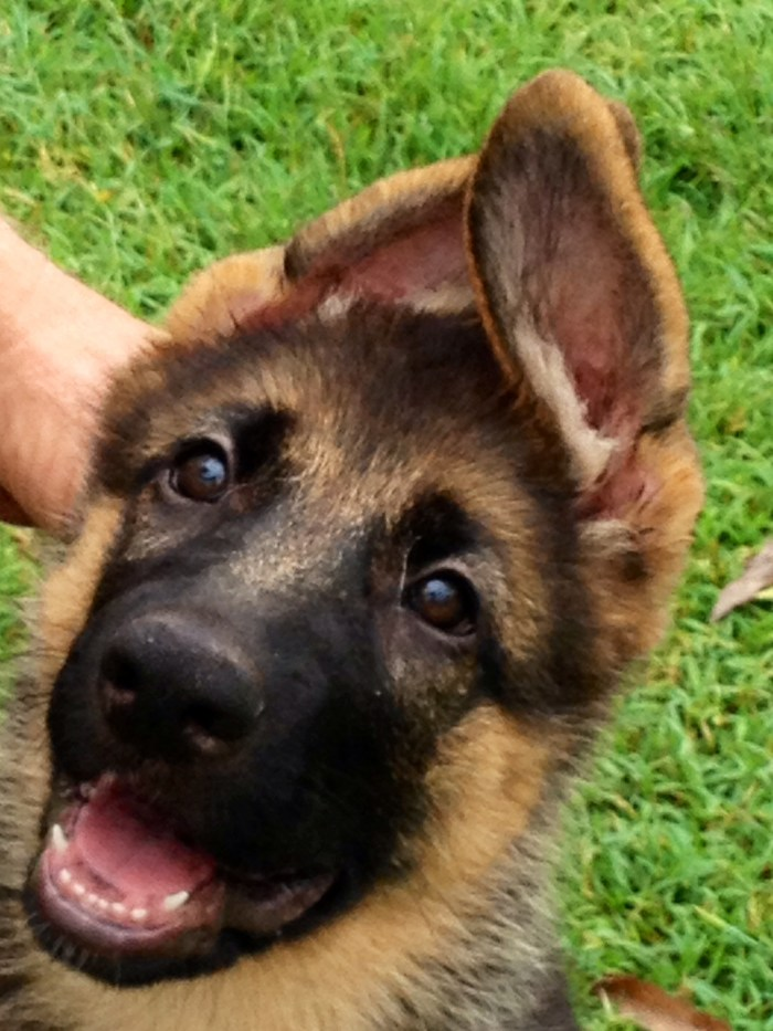 herman-german-shepherd-puppy