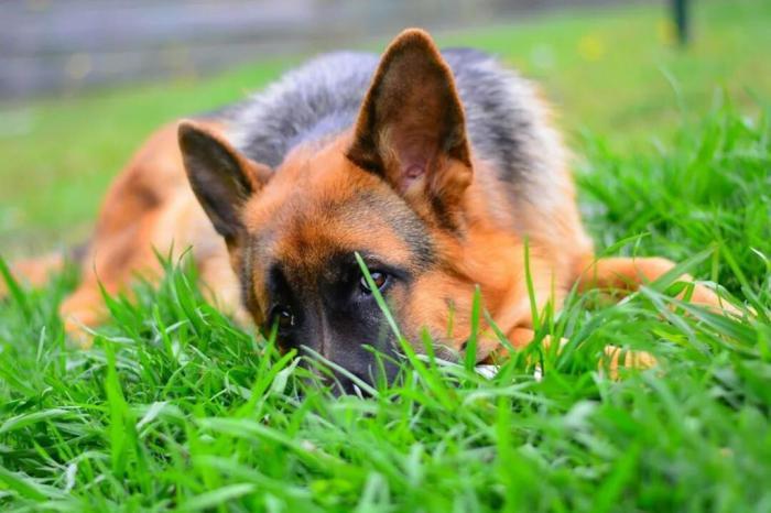 male-german-shepherd-in-the-grass