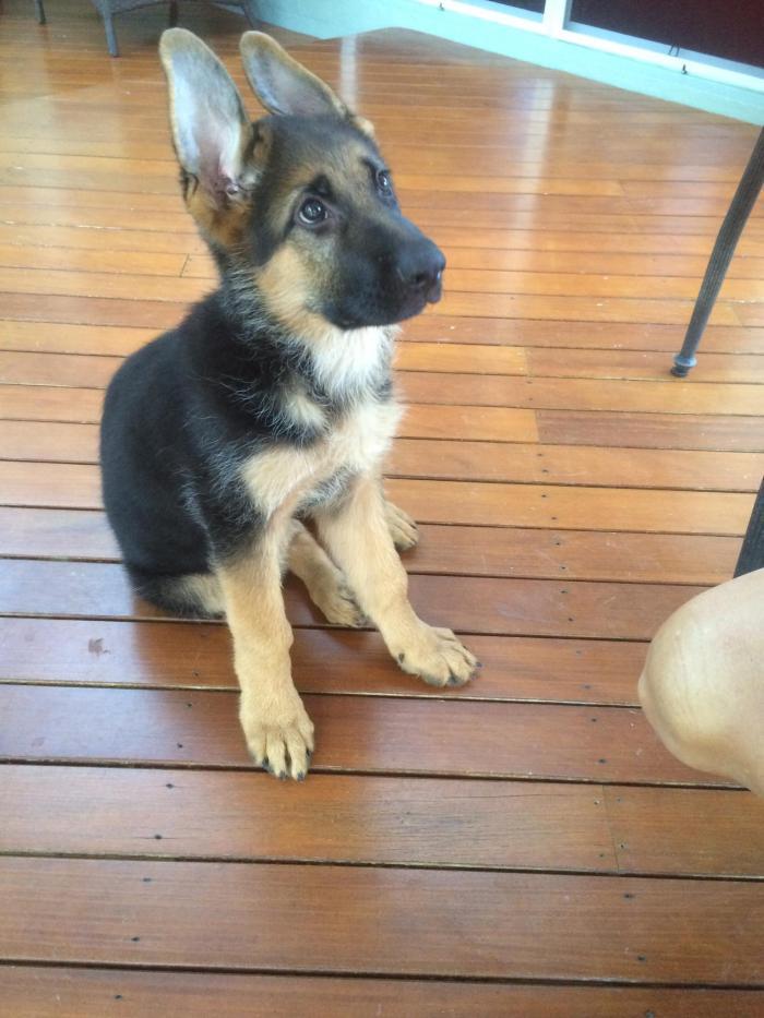 young-german-shepherd-puppy-2