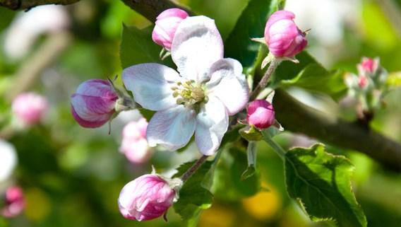 fleurs de pommiers les bruyères carré moyaux calvados normandie