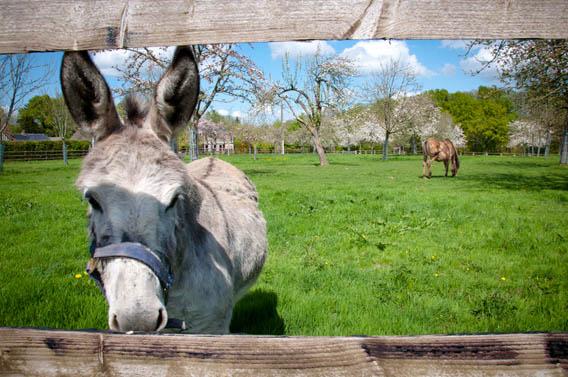 âne et cheval ferme les bruyères carré moyaux pays d'auge normandie