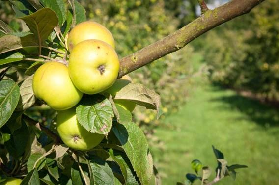 pommes vergers calvados normandie