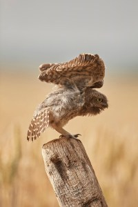 Little Owl owlet, Athene noctua, stretching its wings.