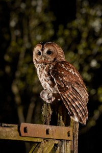 Tawny Owl, Strix aluco, at the Wildlife Photography Hideaways Tawny Owl hide, Arglam, East Yorkshire.