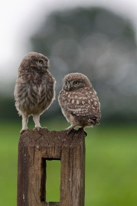 Little Owl Owlets visiting the hide.