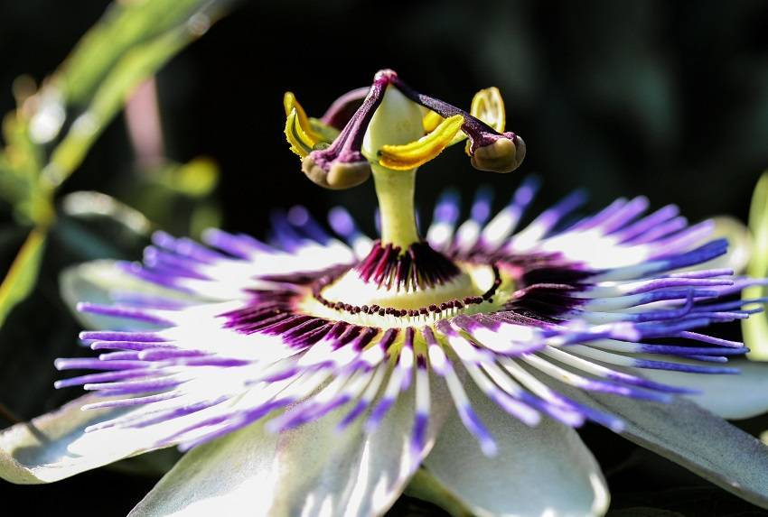 Passionflower a Natural Sedative