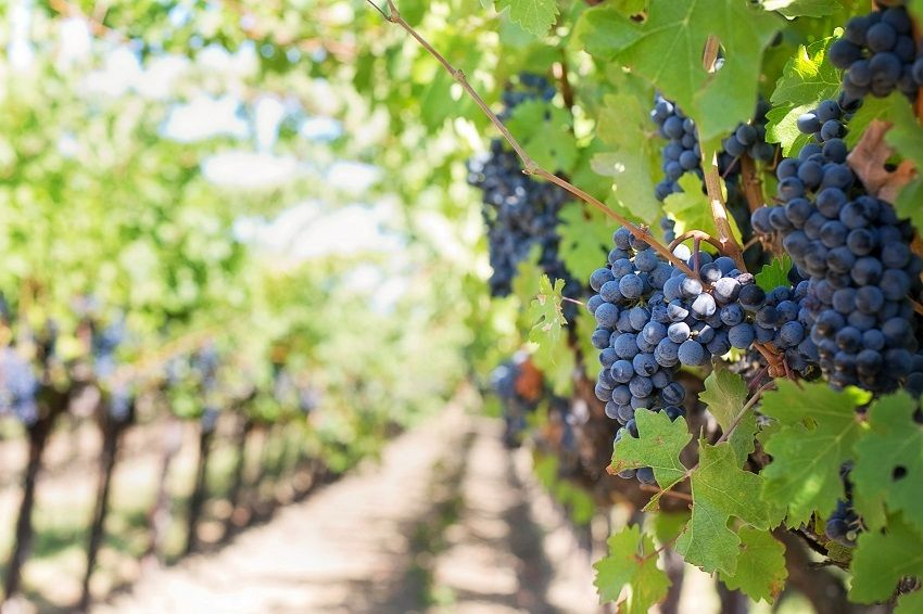 Health & Beauty Benefits of Grapes
