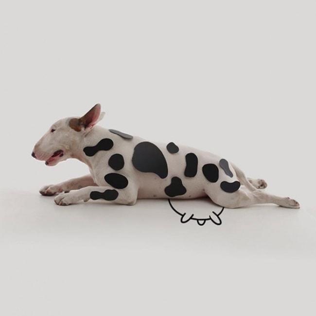 Jimmy Bull Terrier 9