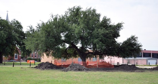 Live oak tree in it's original location