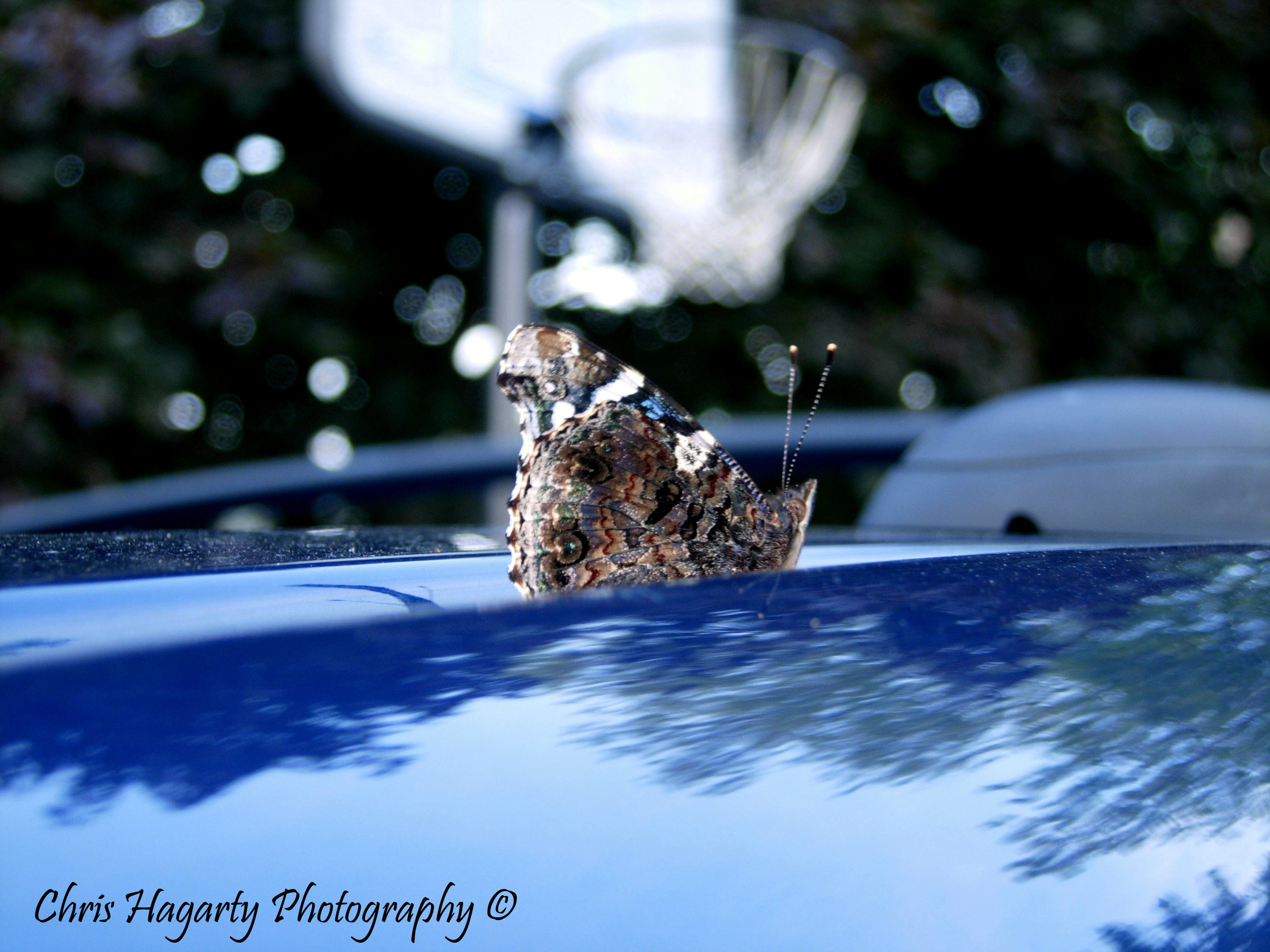Butterfly on car
