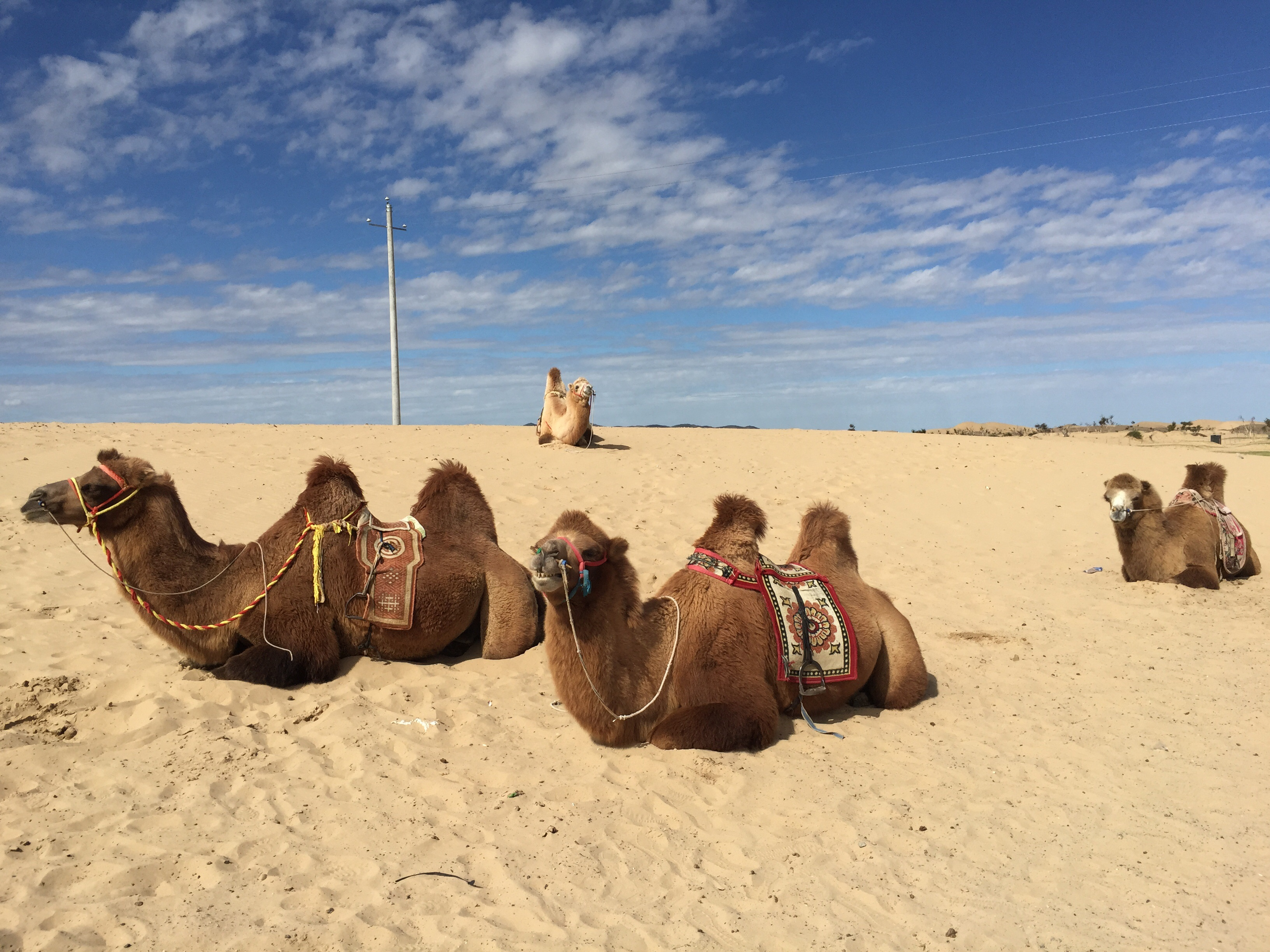 Here are the camels in their resting position. (I'm just assuming they're resting, really.) This is what they were doing when we climbed on.
