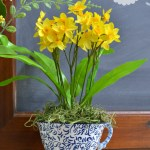 daffodils in a tea cup