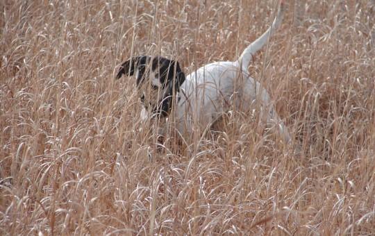 Upland Birds- Pheasant hunting Kansas (19)