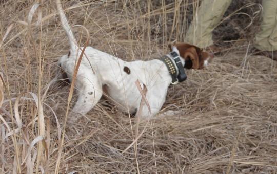 Upland Birds- Pheasant hunting Kansas (22)