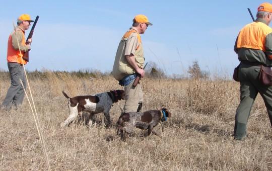 Upland Birds- Pheasant hunting Kansas (4)