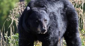 black-bear-mark-bennett-dpc