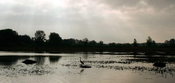 Great Blue Heron standing in pond at Ottawa National Wildlife Refuge