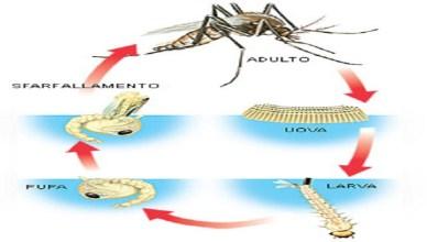 zanzara-ciclo