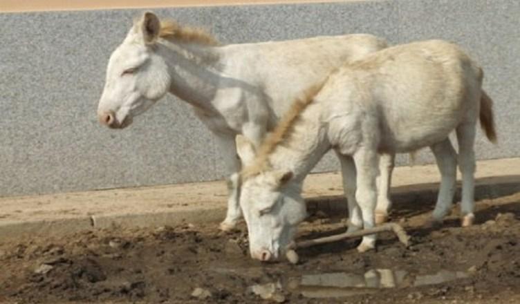 asini albini