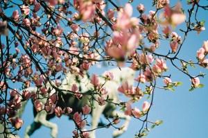Cerisier en fleur
